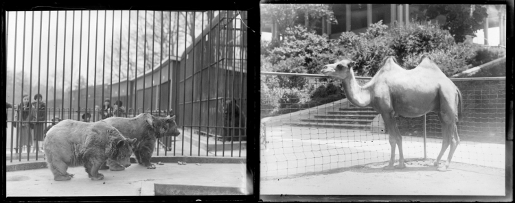 Two bears and a camel. Residents of the Baltimore Zoo at Druid Hill Park. Reference imagess, photographer unknown, ca. 1927, MC7785-1 and MC7785.
